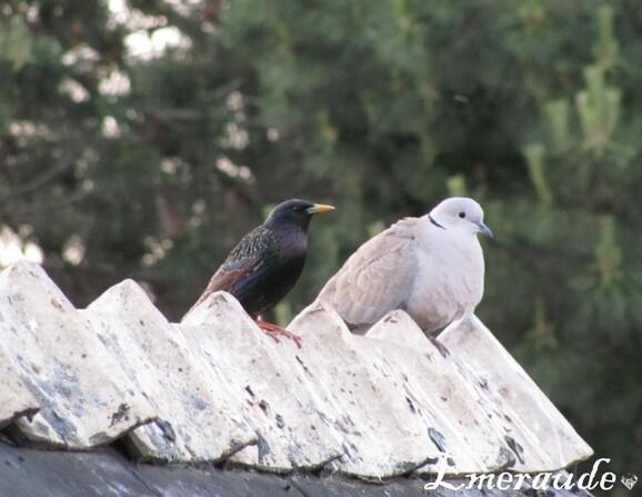 Photo Oiseaux, étourneau sansonnet et tourterelle turque -