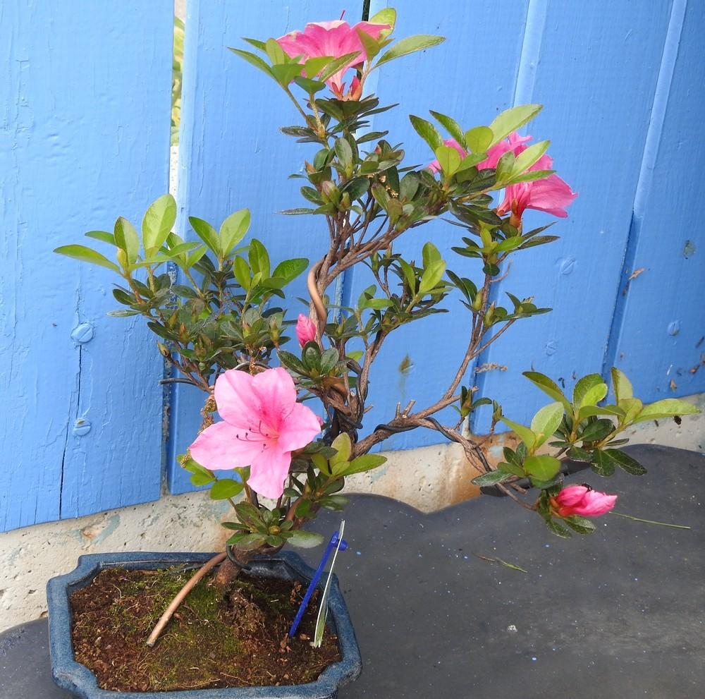 Une azalée en bonsaï...