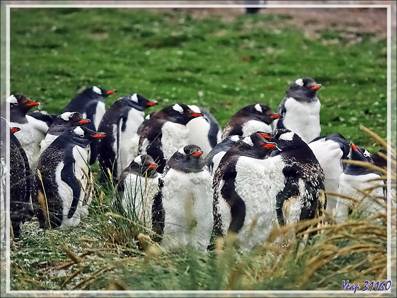 Manchot papou, Gentoo Penguin (Pygoscelis papua) - Grave Cove - West Falkland (Malvinas, Malouines) - Grande-Bretagne