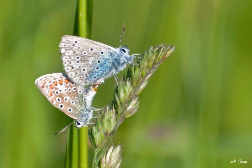accouplement-papillons-4812.jpg