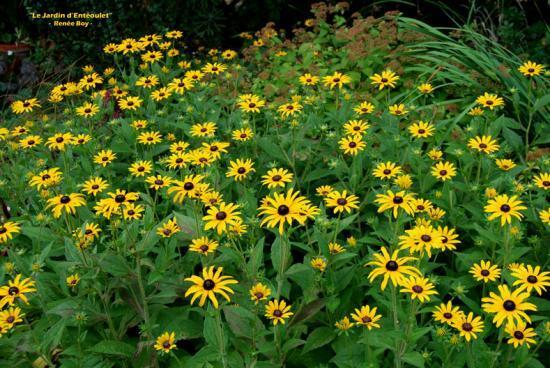 Vivaces du jardin les rudbeckias le jardin d 39 ent oulet for Fleurs jaunes jardin vivace
