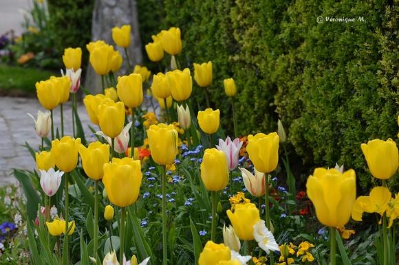 Rambouillet : Des tulipes de toutes les couleurs