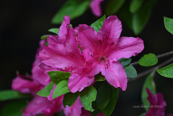 Parc Floral de Paris : Les Rhododendrons