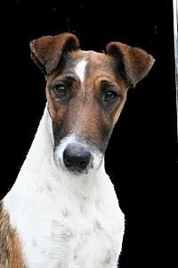 fox-terrier-poil-lisse002