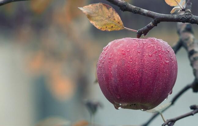 Pomme Sous la PLuie