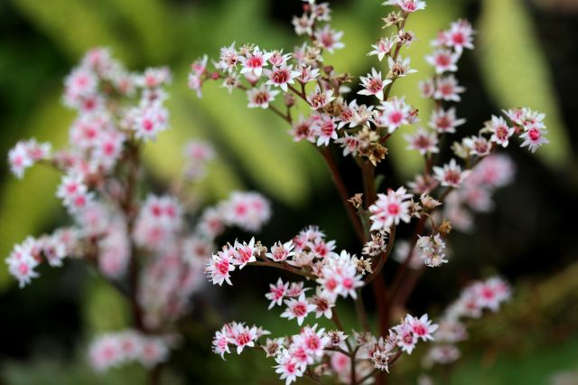 Epimedium : une pépinière d'exception