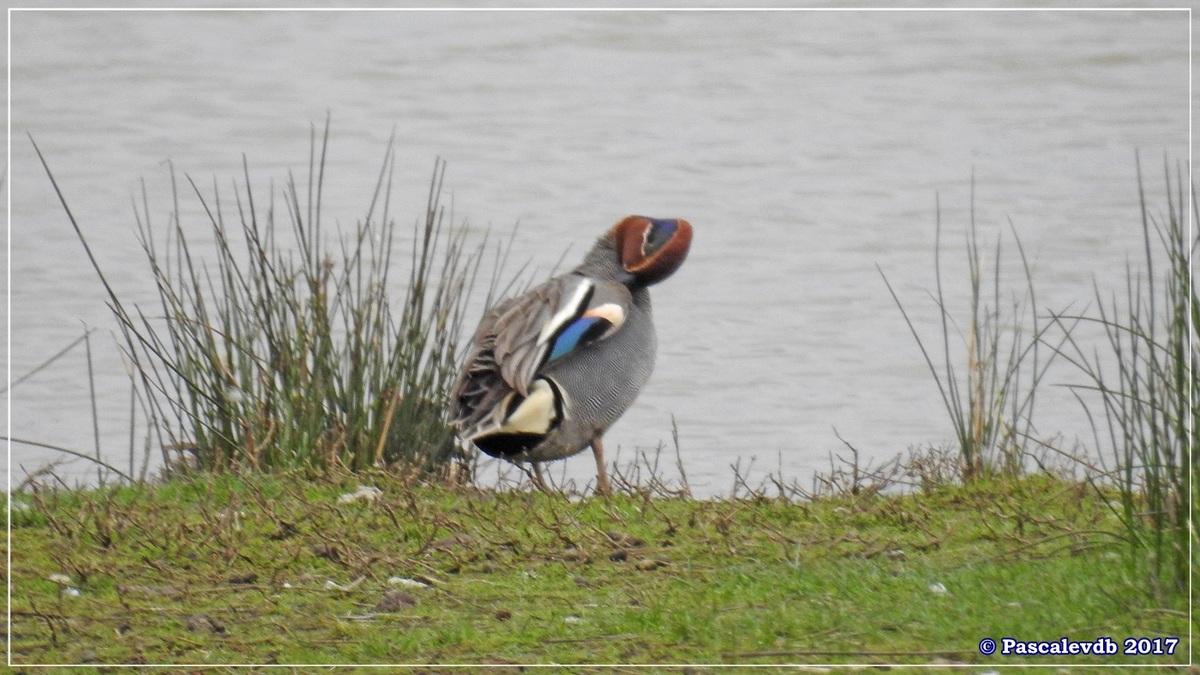 Réserve ornitho du Teich - Mars 2017 - 4/15