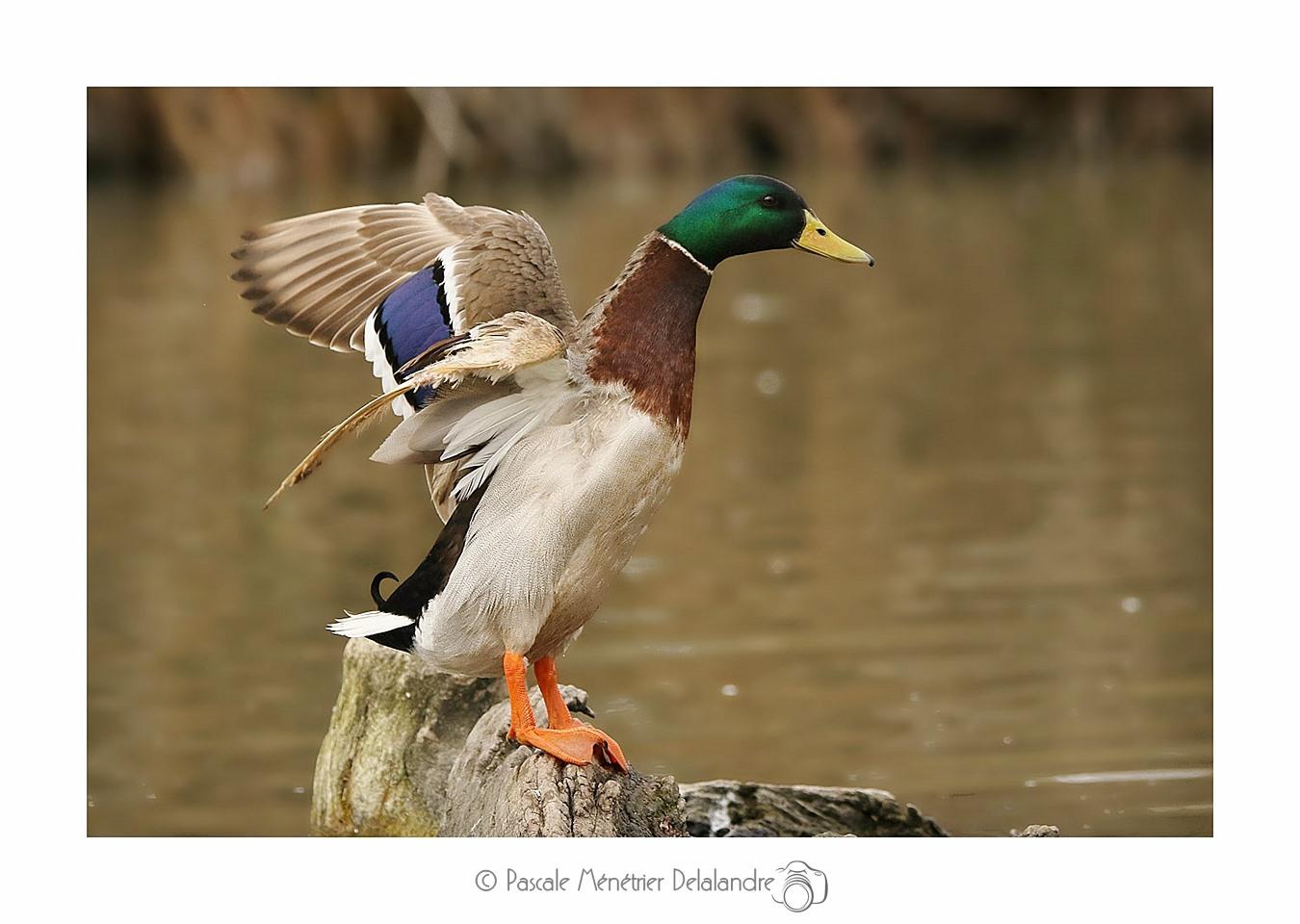 La danse du Canard colvert ♂