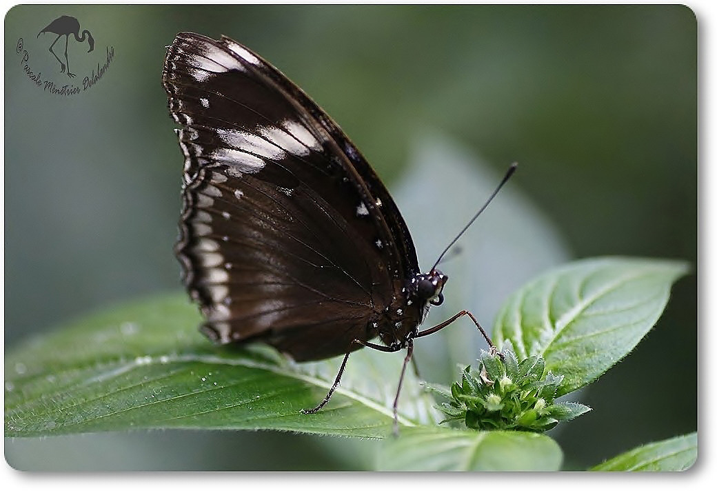 Chilasa clytia - Australie - Papilionidae