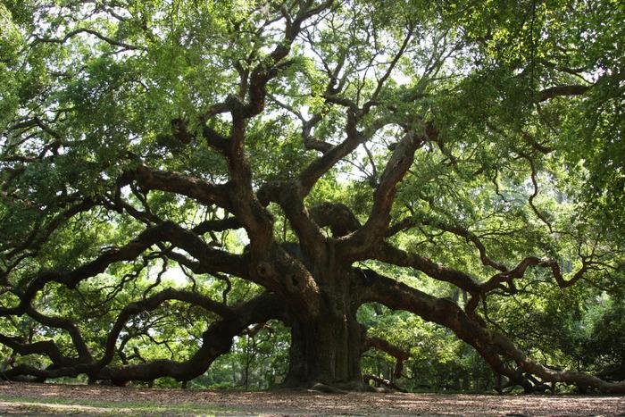 Un chêne Ange de 1400 ans...À Charleston en Caroline du Sud U.S.A.