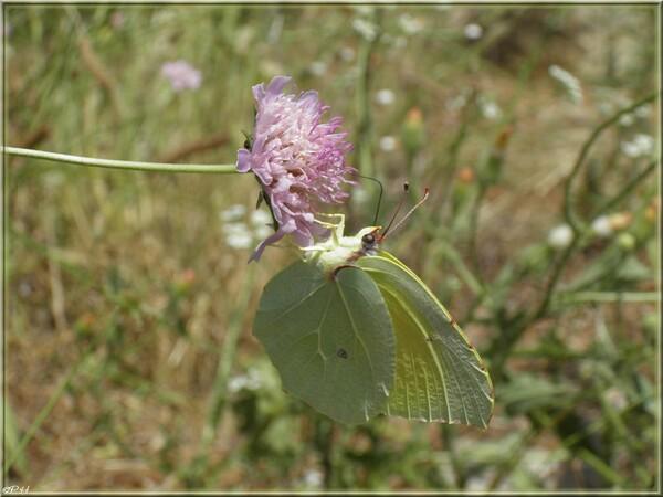 Papillon Citron de Provence