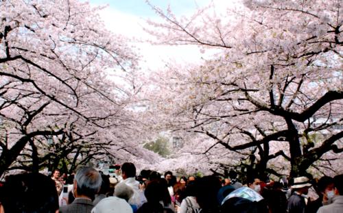 Sakuras.