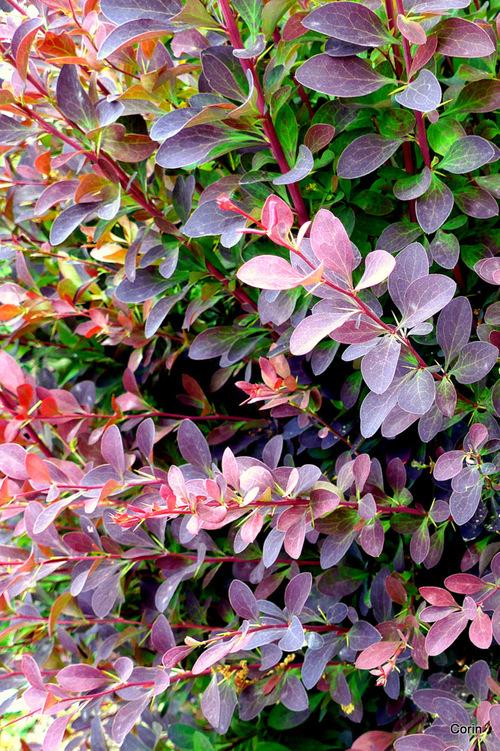 Arbustes avec feuilles rouges : épine-vinette, photinia ...