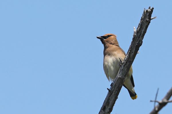 Le marais d'Arcata - Cedar waxwings