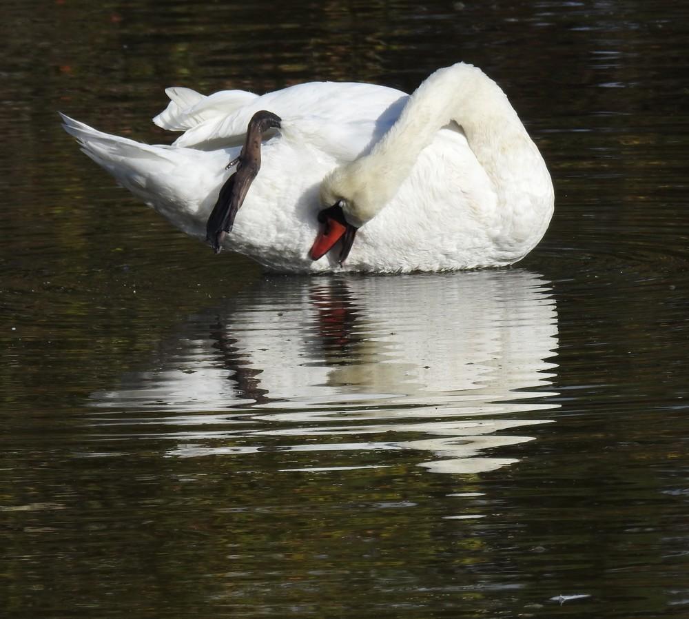 Le cygne blanc qui se faisait beau...