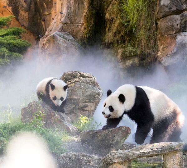 Bébé panda a bien grandi ....