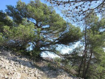 Un superbe pin sous le fort de la Croix-Faron