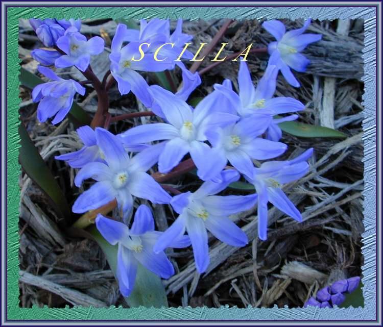 Plantes d'Intérieur : SCILLA (Liliacées)