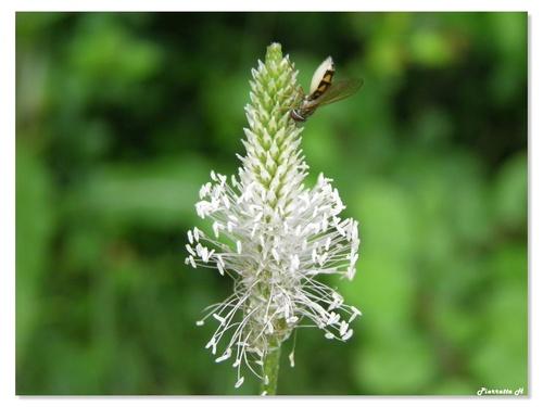 L'abeille cotonnière