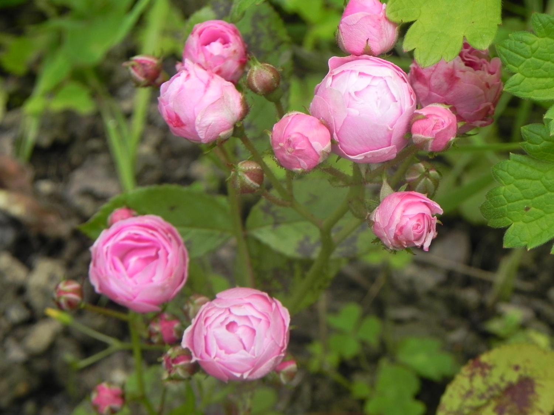 roses anciennes - au nom de la rose