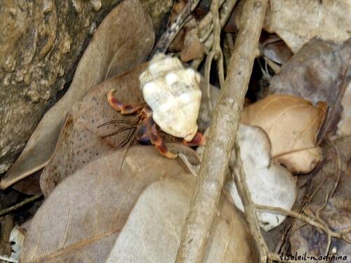 Les Bernards l'Hermites du Tombolo à Ste Marie, Martinique