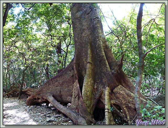 Blog de images-du-pays-des-ours : Images du Pays des Ours (et d'ailleurs ...), Arbre remarquable dans la forêt humide (rain forest): bas et haut - Rincon de la Vieja - Costa -Rica