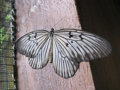 Papillons de Bali 3