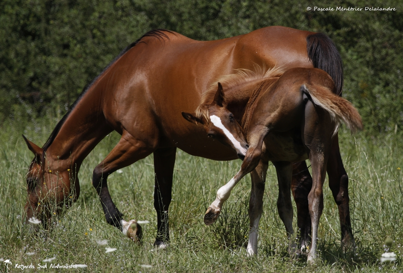 A chacune son foal...