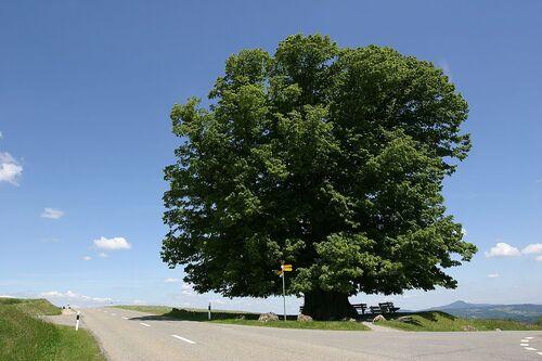 Vertus médicinales des arbres : Tilleul