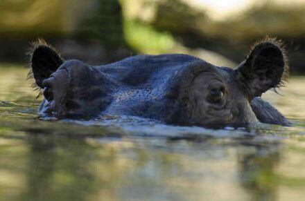 «  Le cheval géant du fleuve »