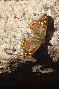 Tircis ou Pararge Aegeria aux ailes abimées
