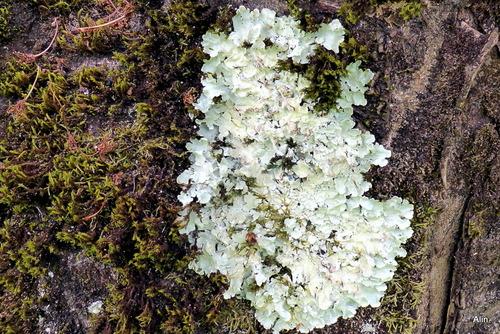Le lichen sur l'écorce d'arbre