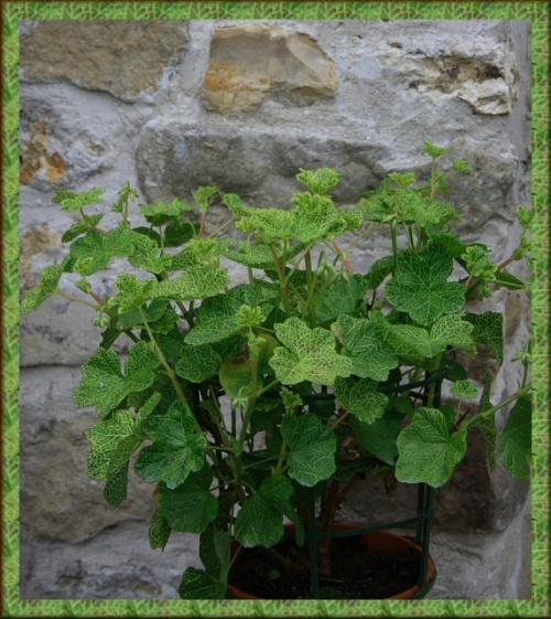 pelargonium gaufré