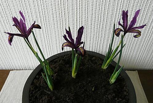 iris-reticulata-Dijt--27-01-2011-010.jpg