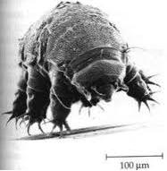 les tardigrades