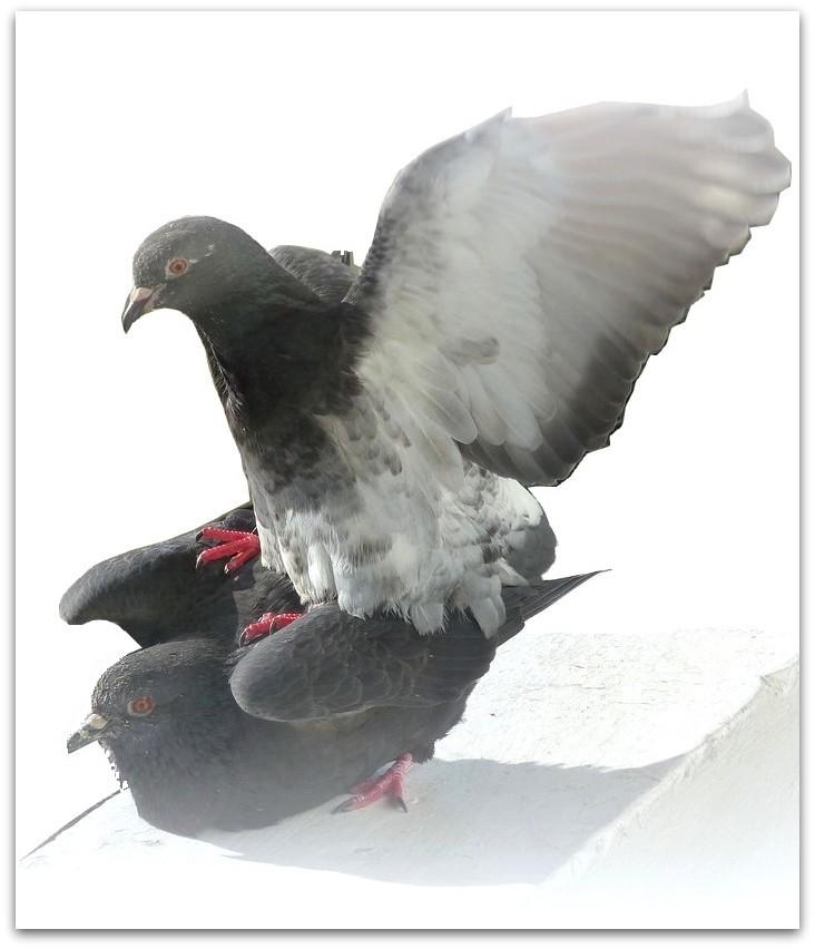 Des cygnes aux pigeons !