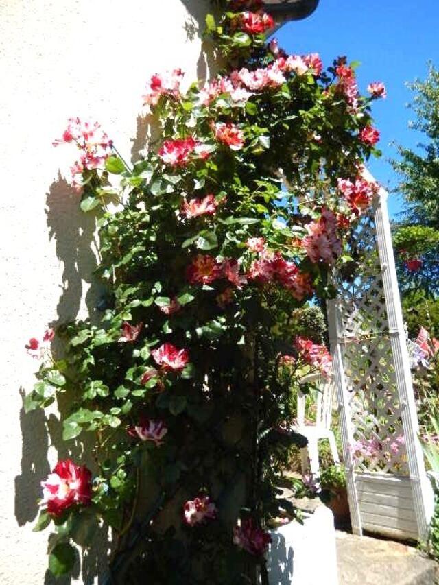 Une rose au jardin c'est le cadeau du ciel