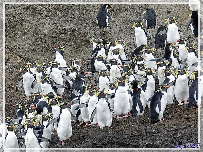 """Le High Peak (365 m) surplombant """"The Huts"""" et une colonie de Gorfous de Moseley - Nightingale Island - Tristan da Cunha"""