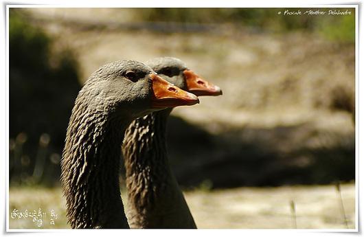 Oies cendrées et Canard de Barbarie