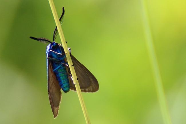 Procris de l'Oseille, la Turquoise de la Sarcille
