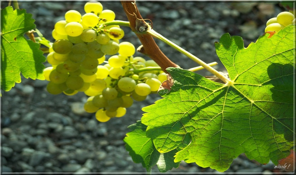 Un tour à la vigne ...