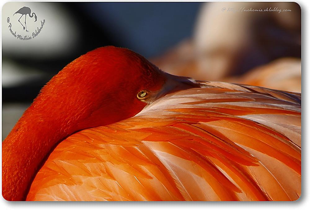 Flamant de Cuba (Flamant rouge)