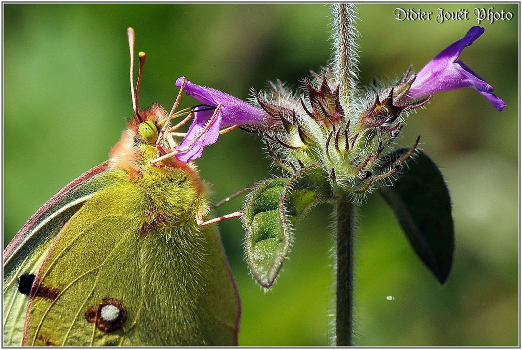 Souci / Colias crocea