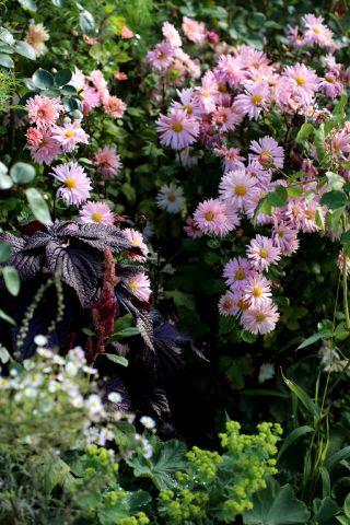 Association autour du chrysanthème Apricot Beauty