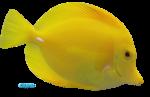 Colybrix psp poisson exotique aiguille jaune.png