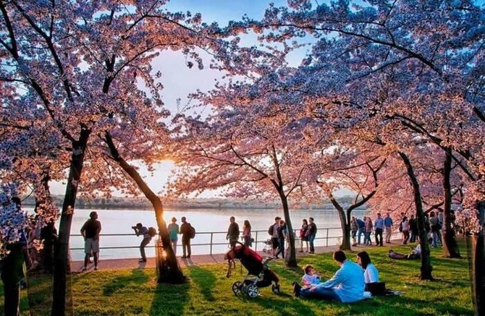 Images du Jour Fleurs de cerisier au National Mall, Washington, DC