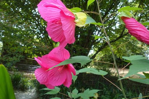 Hibiscus moscheutos.