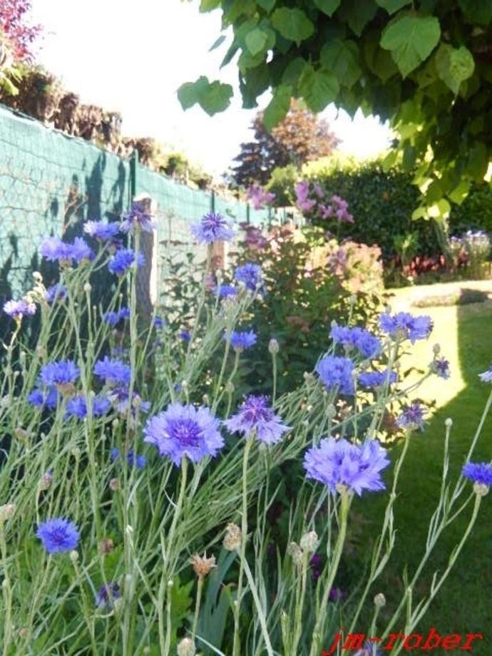 Jardin: Bleuet des champs et Chardonnet élégant