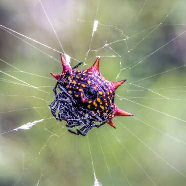 A female Spiny Orb-weaver (Gasteracantha cancriformis) waiting for pray to land in her nest at Hugh Taylor Birch State Park in Fort Lauderdale, Florida.