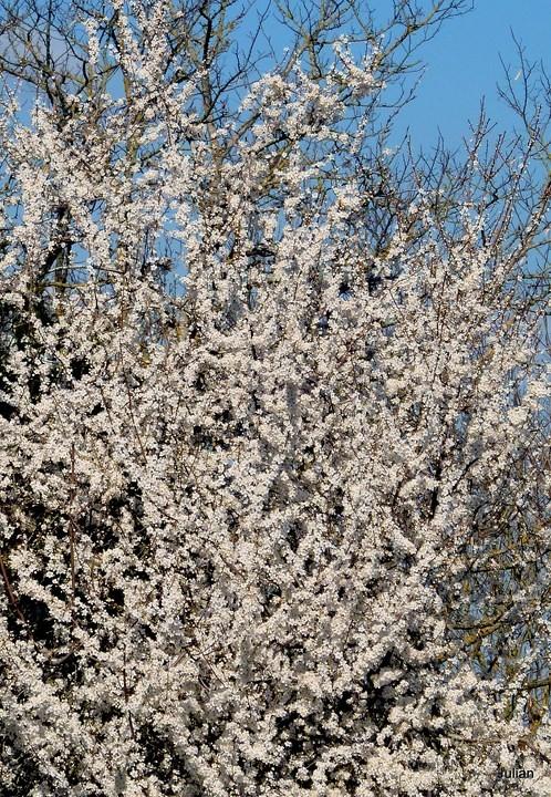P03 - Prunier en fleur